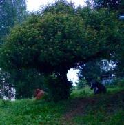 """Unter dem """"Liebesbaum""""."""